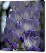 Purple And Violet Wisteria Blossom  Canvas Print