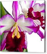 Purple And White Cattleyas Against White Space Canvas Print