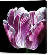 Purple And White Marbled Tulip Canvas Print