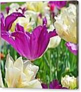 Purple And White Tulips Canvas Print