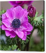 Purple Anemone. Flowers Of Holland Canvas Print