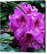 Purple Azalea Canvas Print