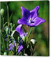 Purple Balloon Flower Canvas Print