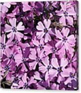 Purple Beauty Phlox Canvas Print