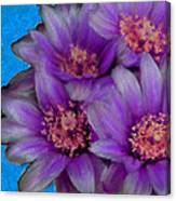 Purple Cactus Flowers Canvas Print