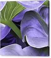 Purple Calla Lily Bush Canvas Print