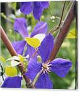 Purple Clematis Clinging On A Fence Canvas Print