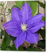 Purple Clematis Full Bloom Canvas Print