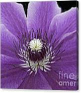 Purple Clematis Canvas Print