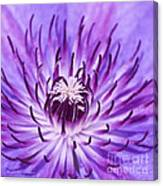 Purple Clematis Canvas Print
