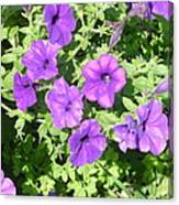 Petunias Purple Club Canvas Print