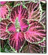 Purple Coleus With Seeds Canvas Print