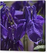 Purple Colimbine 1 Canvas Print