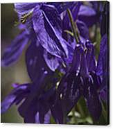 Purple Columbine 2 Canvas Print