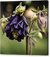 Purple Columbine Canvas Print