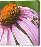 Purple Cone Flower Echinacea Canvas Print