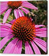 Purple Cone Flower With Bee Canvas Print