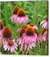 Purple Cone Flowers Canvas Print