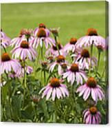 Purple Cone Flowers Canvas Print