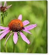 Purple Coneflower 8732 Canvas Print