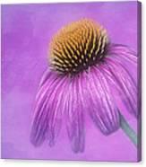 Purple Coneflower - Echinacea Purpura Canvas Print