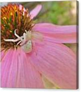 Purple Coneflower With Crab Spider Canvas Print
