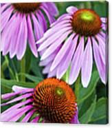 Purple Coneflowers - D007649a Canvas Print
