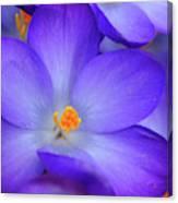 Purple Crocus Close-up Canvas Print