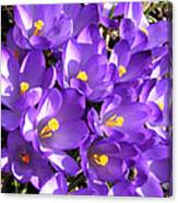 Purple Crocus Spring Welcome Canvas Print