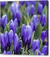 Purple Crocuses Canvas Print