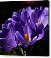 Purple Crocuses On A Spring Day Canvas Print