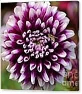 Purple Dahlia White Tips Canvas Print