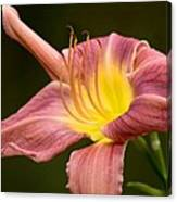 Purple Daylily Canvas Print