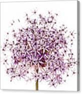 Purple Flowering Onion Canvas Print
