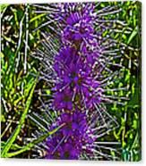 Purple Fringe On Bald Mountain In Ketchum-idaho Canvas Print