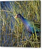 Purple Gallinule 2 Canvas Print