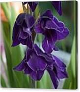 Purple Gladioli Canvas Print