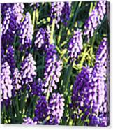 Purple Grape Hyacinth  Canvas Print