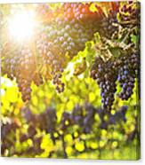 Purple Grapes In Sunshine Canvas Print