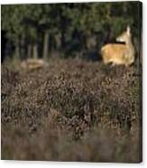 Purple Heather In The Background A Female Deer Netherlands Canvas Print