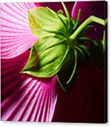 Purple Hibiscus Shot From Behind. Canvas Print
