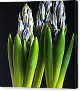 Purple Hyacinth Ready For Spring. Canvas Print