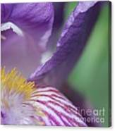 Purple Iris 1 Canvas Print