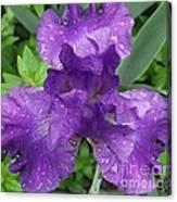 Purple Iris After The Rain Canvas Print