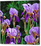 Purple Iris Bliss Canvas Print
