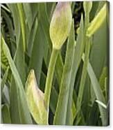 Purple Iris Is Born Canvas Print