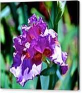 Purple Iris Opens Canvas Print