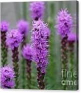 Purple Liatris Flowers Canvas Print