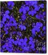 Purple Lobelia Canvas Print