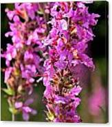 Purple Loosestrife Tall Canvas Print